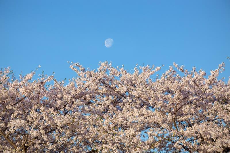Czereśniowi okwitnięcia z księżyc zdjęcie stock