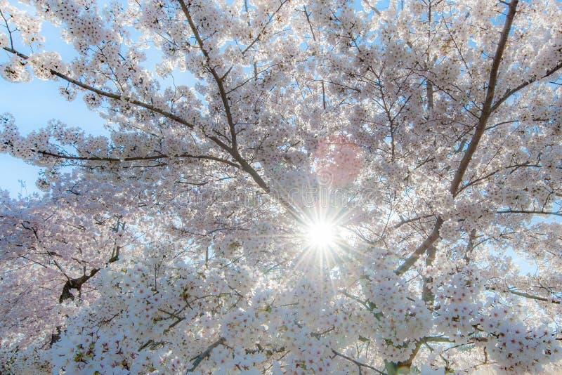 Czereśniowi okwitnięcia z Sunburst fotografia stock