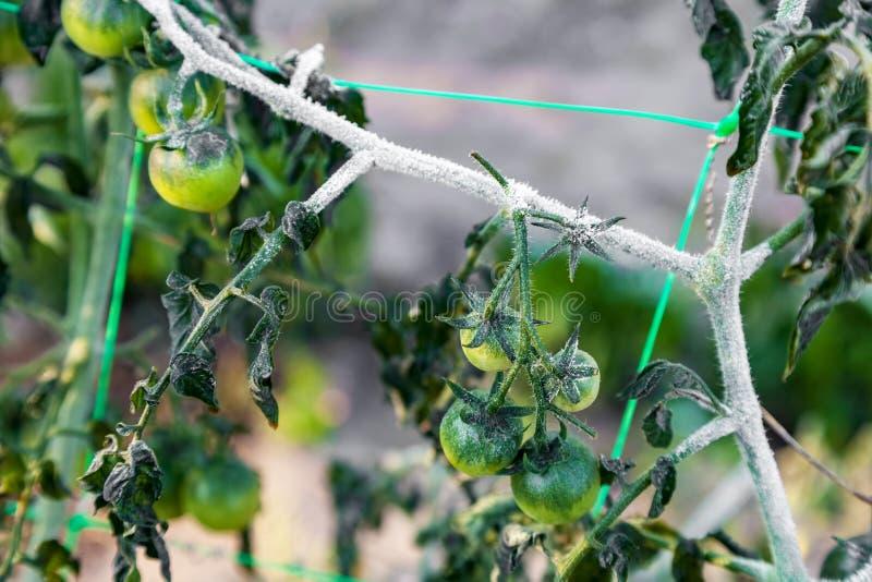 Czereśniowi pomidory r w ogródzie po pierwszy ziemia mrozu obraz stock