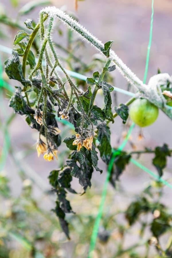 Czereśniowi pomidory r w ogródzie po pierwszy ziemia mrozu zdjęcie royalty free