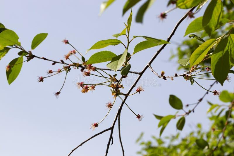 Czereśniowy drzewo fotografia royalty free