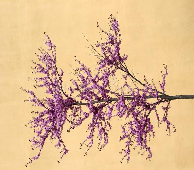 czereśniowy drzewo obrazy royalty free