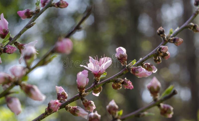 Czereśniowy drzewo kwitnie, Czereśniowego okwitnięcia festiwal, Gruzja usa obraz royalty free
