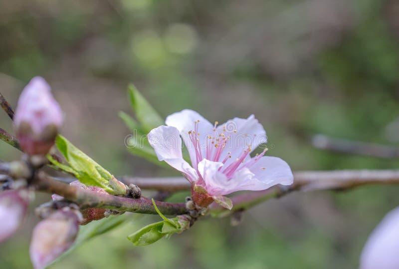 Czereśniowy drzewo kwitnie, Czereśniowego okwitnięcia festiwal, Gruzja usa zdjęcie stock