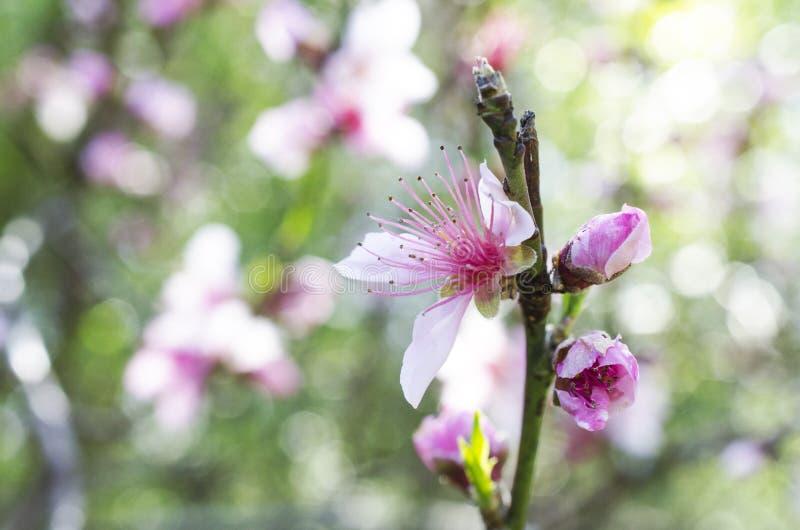 Czereśniowy drzewo kwitnie, Czereśniowego okwitnięcia festiwal, Gruzja usa fotografia royalty free