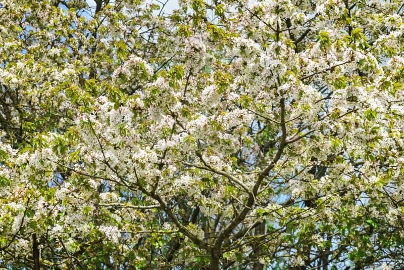 Czereśniowy drzewo kwitnie z białymi kwiatami na wiosna słonecznym dniu obraz stock