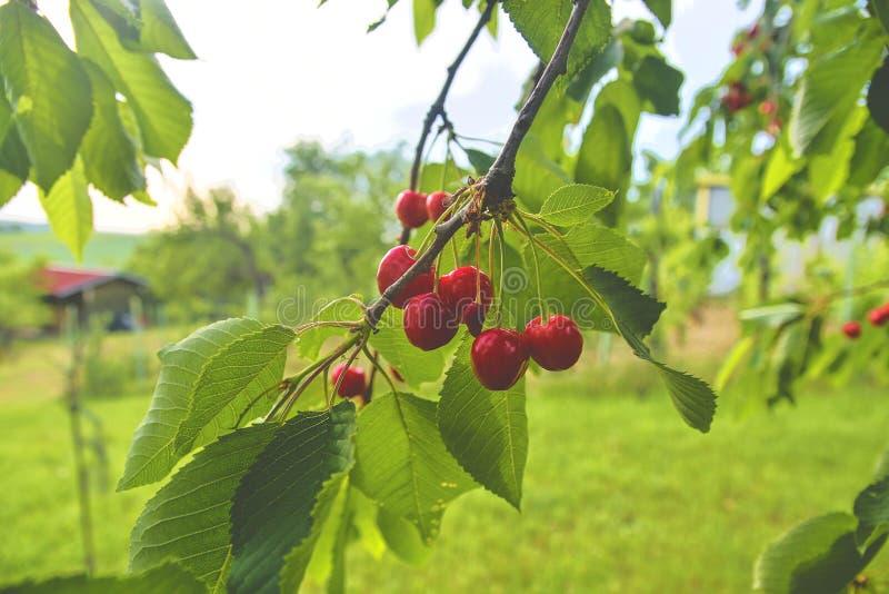Czereśniowy drzewo z dojrzałymi wiśniami Wiśnie wiesza na czereśniowej gałąź zdjęcia royalty free