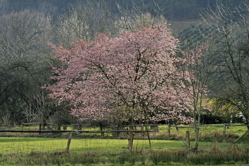 Download Czereśniowy Germany Japoński Wiosna Drzewo Zdjęcie Stock - Obraz złożonej z plecy, krajobraz: 13332912