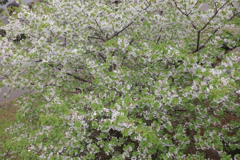 czereśniowy kwiat przy Daiba przy 2016 obraz stock