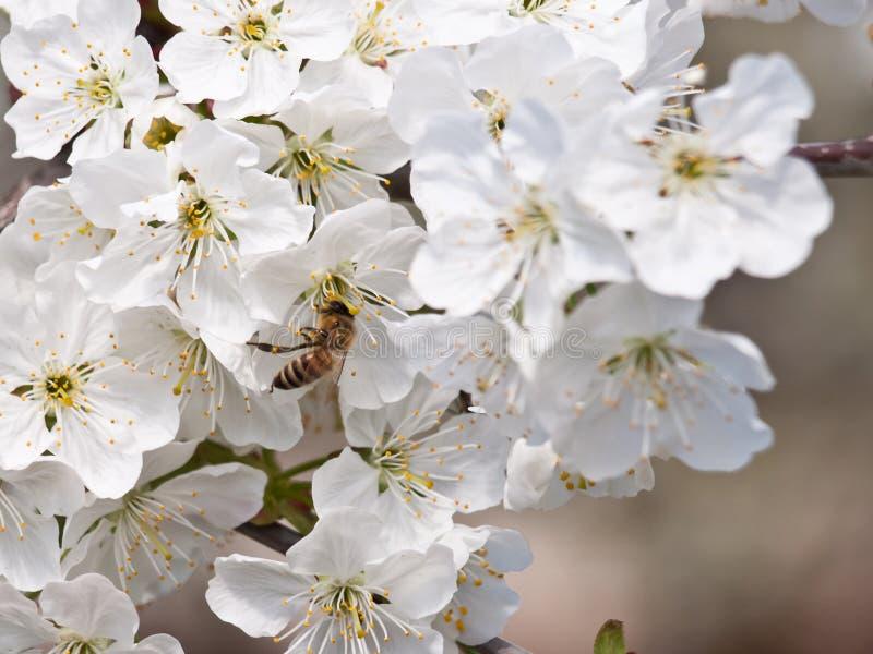 Download Czereśniowy kwiatu tło obraz stock. Obraz złożonej z płatki - 28966519