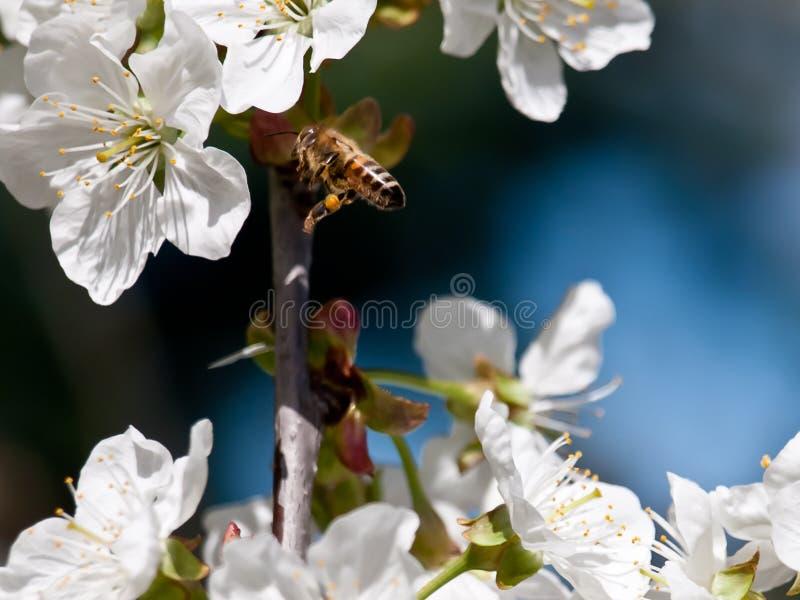 Download Czereśniowy kwiatu tło zdjęcie stock. Obraz złożonej z powietrze - 28966530