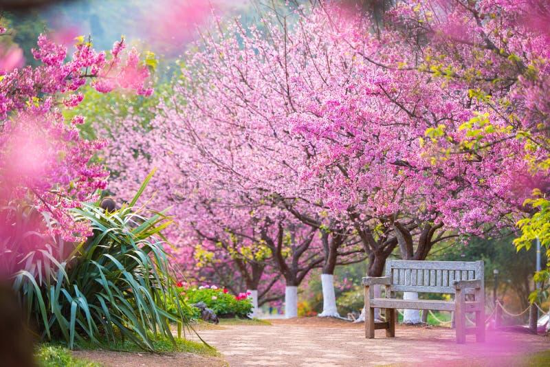 Czereśniowy okwitnięcie kwitnie n Thaland obraz stock