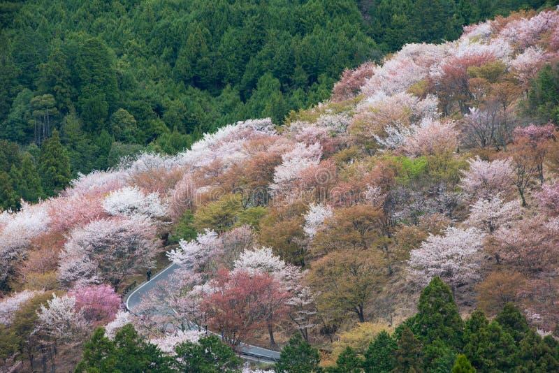 Czereśniowy okwitnięcie na Yoshinoyama, Nara, Japonia wiosny krajobraz zdjęcia royalty free