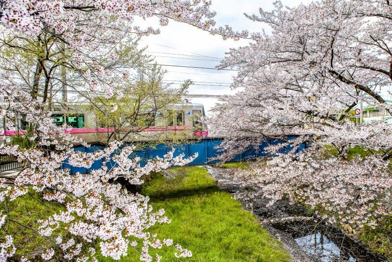 Czereśniowy okwitnięcie, pociąg, Japonia zdjęcia stock