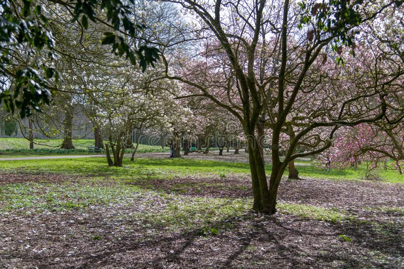 Czereśniowy okwitnięcie przy Bute parkiem zdjęcie stock