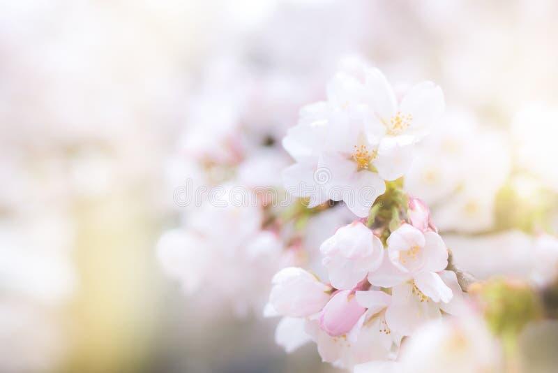Czereśniowy okwitnięcie w pełnego kwiatu fadingu wewnątrz zaświecać, Sakura sezon w Japan obraz royalty free