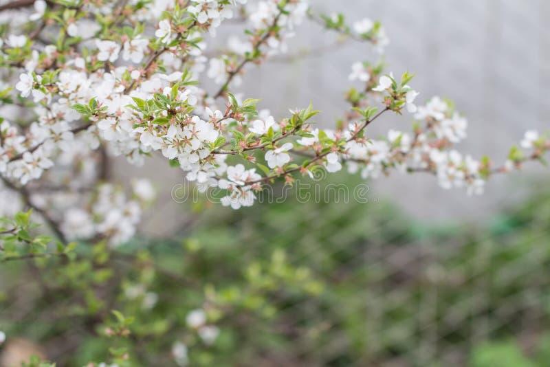 Download Czereśniowy Okwitnięcie W Pełnym Kwiacie Obraz Stock - Obraz złożonej z ogrodnictwo, czujka: 53781133