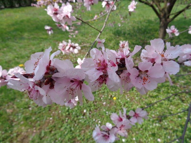 Czereśniowy okwitnięcie, wiosna czas fotografia royalty free