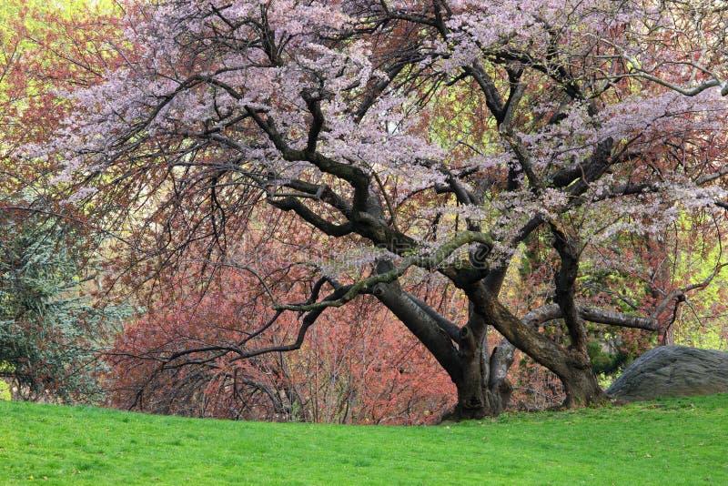 czereśniowy prunus sargentii drzewo obraz royalty free