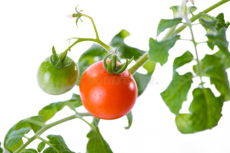 Czereśniowych pomidorów gałęziasty zakończenie na białym tle zdjęcia royalty free