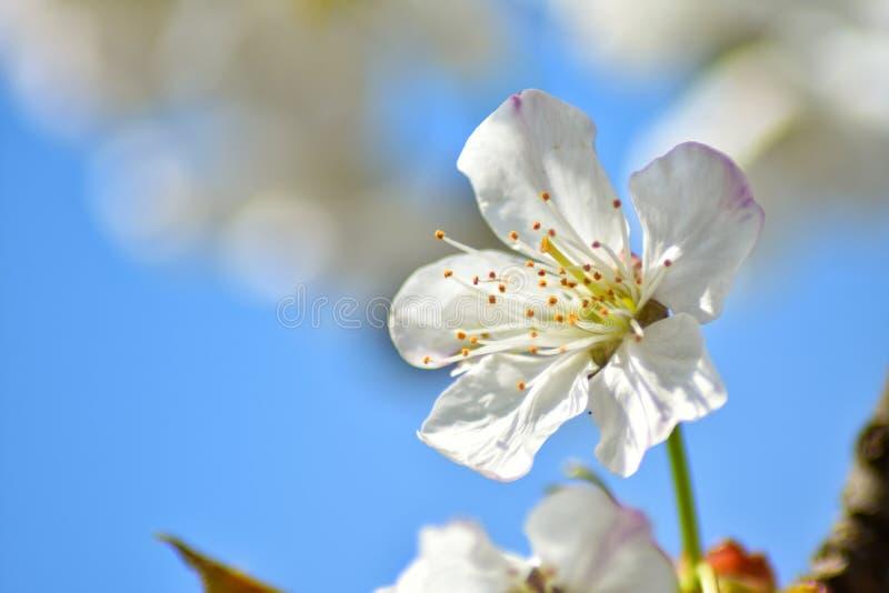 Czere?niowego drzewa kwiat obraz royalty free