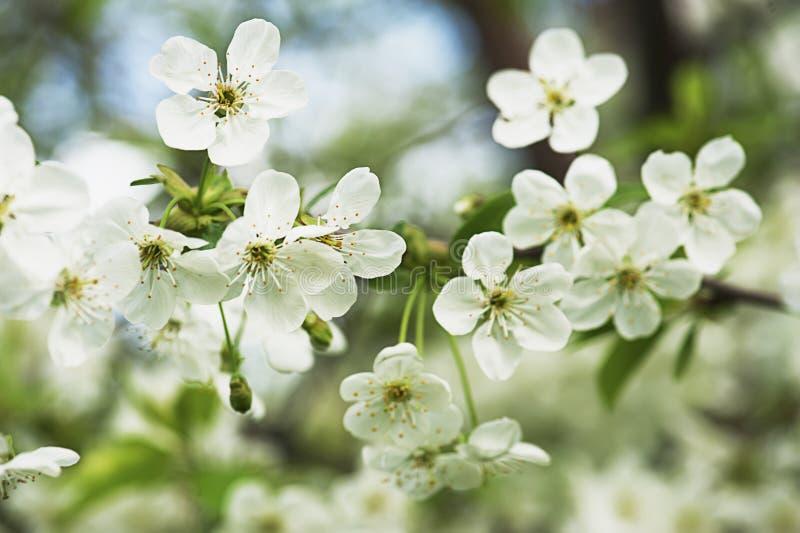 Download Czereśniowego Drzewa Kwiaty Obraz Stock - Obraz złożonej z piękno, botanika: 53781183