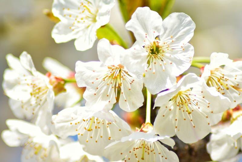 Czere?niowego drzewa kwiaty zdjęcia royalty free