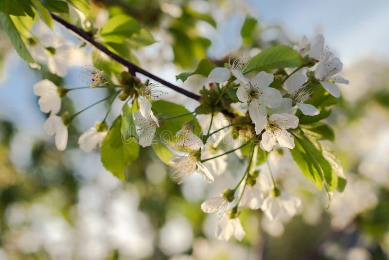 Czere?niowego drzewa okwitni?cie Bia?y kwiat na naturalnym b??kitnym tle fotografia stock