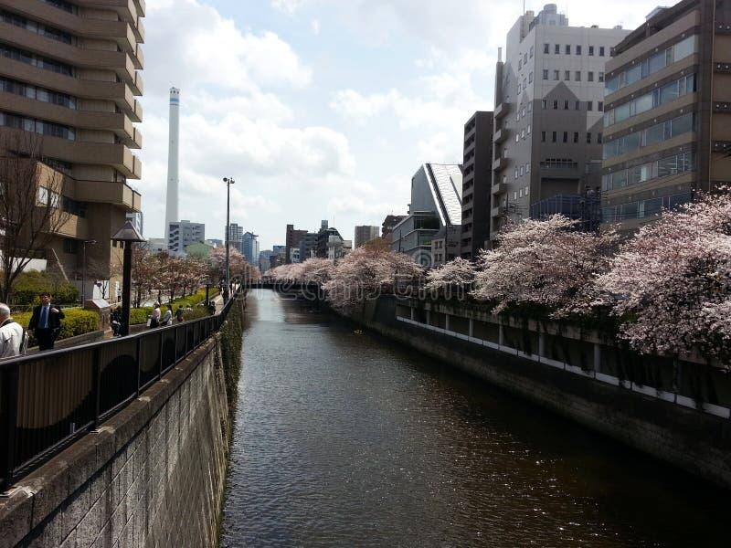Czere?niowi drzewa w Tokio fotografia stock