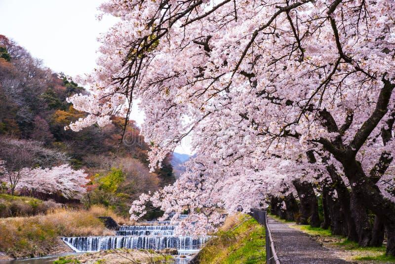 Czere?niowy okwitni?cie folowa? kwitnienie przy Hakone parkiem, Japonia obraz stock