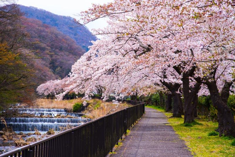 Czere?niowy okwitni?cie folowa? kwitnienie przy Hakone parkiem, Japonia obrazy stock