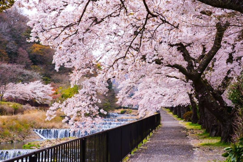 Czere?niowy okwitni?cie folowa? kwitnienie przy Hakone parkiem, Japonia obraz royalty free