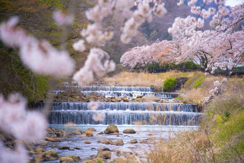 Czere?niowy okwitni?cie folowa? kwitnienie przy Hakone parkiem, Japonia zdjęcia royalty free