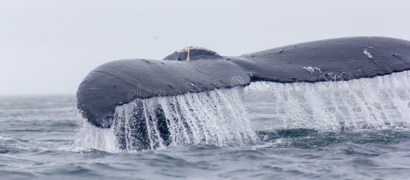 Czerep humpback wieloryba fuks z wodnym bieg daleko. obraz royalty free