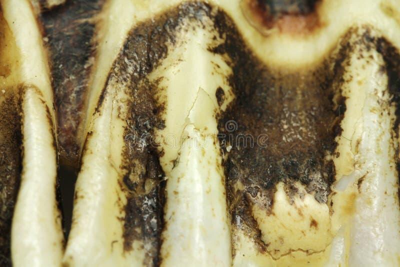 Czerep jawbone knura tło zdjęcia stock