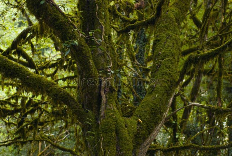 Czerep piękny mechaty drzewo w tropikalnym lesie deszczowym obrazy stock