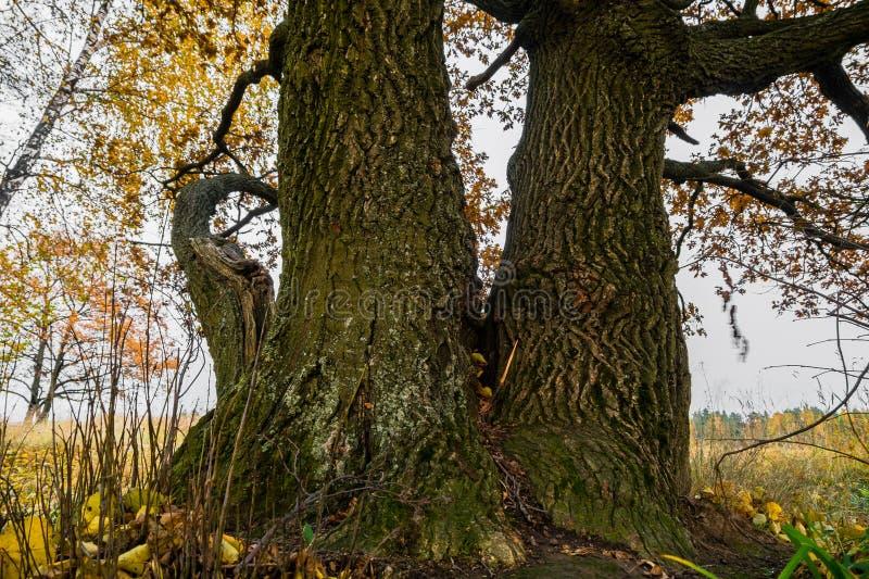 Czerep prawie bezlistny stary dębowy drzewo na fadingu polu w chmurnym wieczór Starzy dębu barkentyna, pobrużdżona pęknięciami i  zdjęcie royalty free