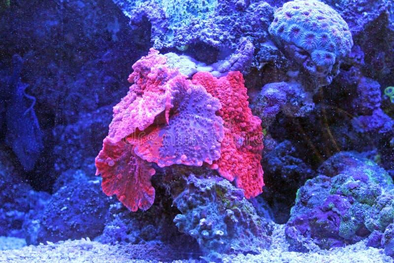 Czerep rafa koralowa Czerwony morze zdjęcia royalty free