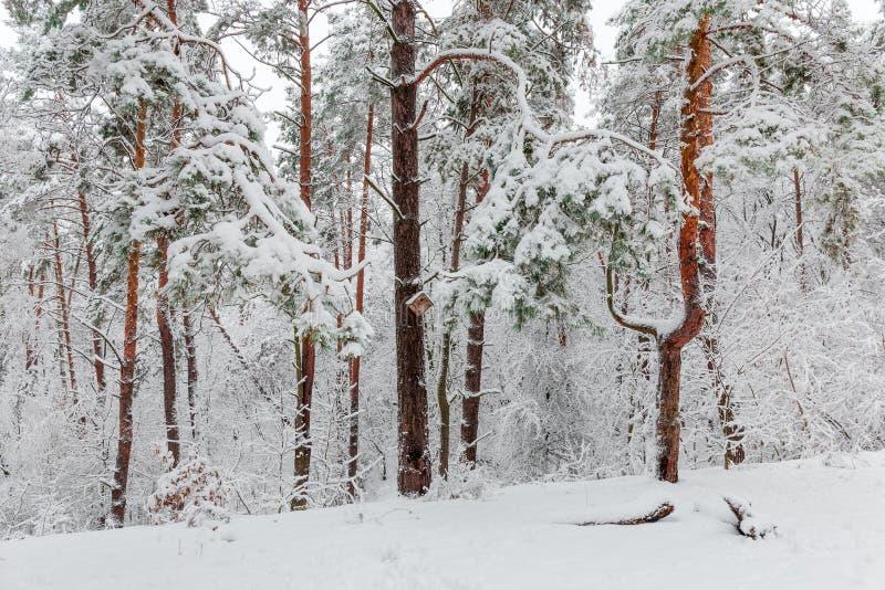 Czerep zima sosnowy las podczas ciężkiego opad śniegu fotografia royalty free