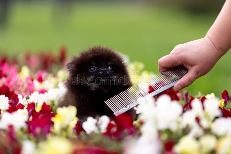 Czerni i dębnika szczeniaka pomeranian spacery plenerowi zdjęcia royalty free
