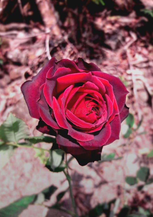 Czerni róża z rozmytym tłem fotografia royalty free
