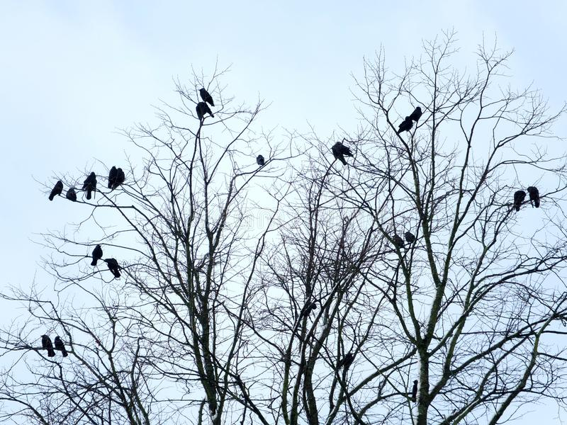 Czerni wrony umieszczali w gałąź lub nagim zimy drzewie fotografia royalty free