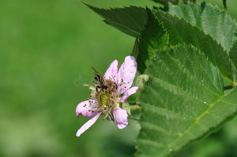 Czernica kwiat zdjęcie stock