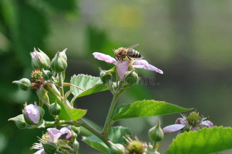 Czernica kwiat obrazy stock