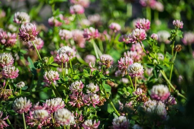Czerparki pszczoła na Alsike koniczyny kwiacie obrazy royalty free
