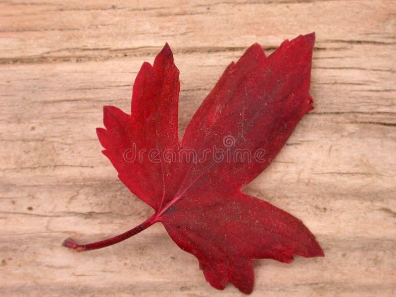 czerwień liści jesienią zdjęcia stock