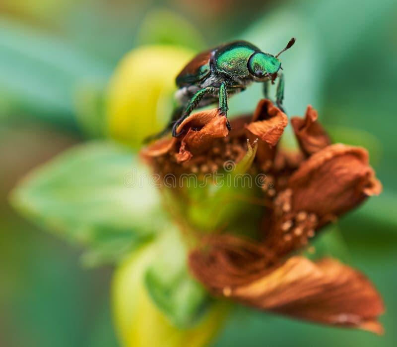 Czerwiec pluskwa przylega kwiat zdjęcia stock