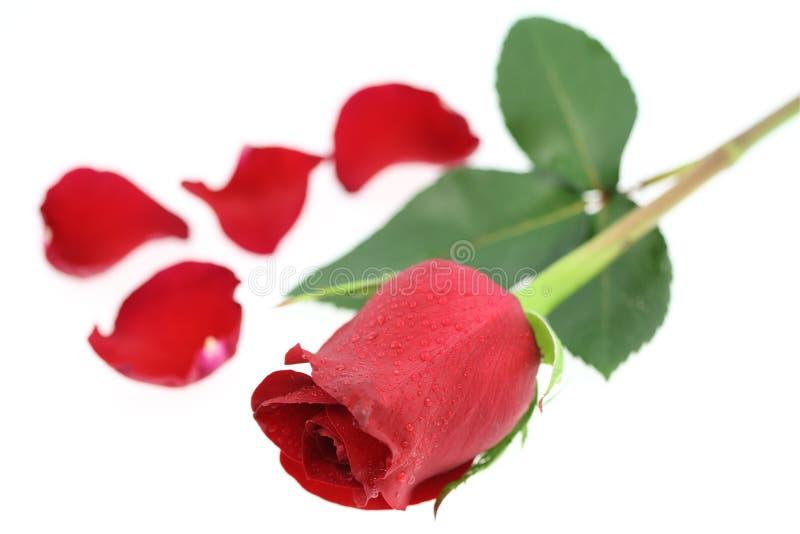 czerwieni róża fotografia royalty free