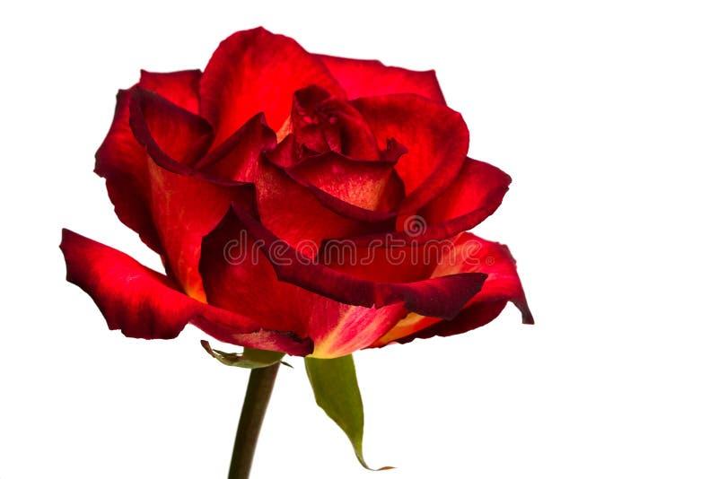czerwieni róży biel fotografia royalty free