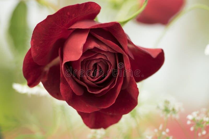 Czerwieni róży kwiat na pięknym tle zdjęcia stock